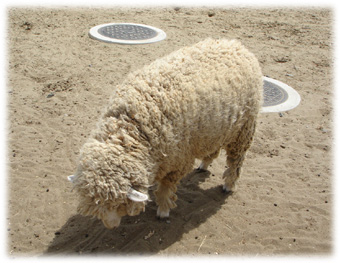 Sheep060506